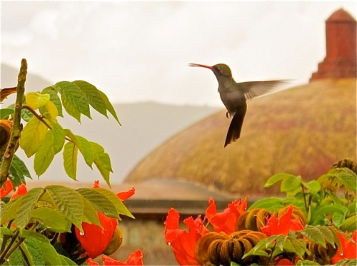 Hummingbird hovering over African tulip tree, with church dome in background