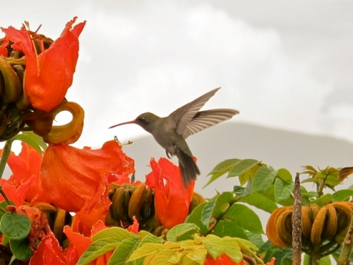 Hummingbird in African tulip tree with mountain in background