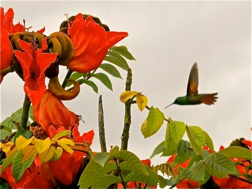 Hummingbird flying toward red-orange African tulip tree blossoms