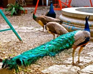 Peacocks and peahens in Etla