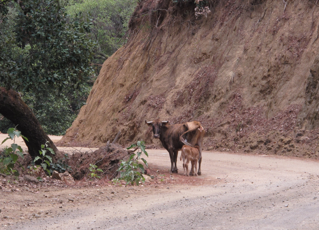 Cow and her calf on the side of mountain road.