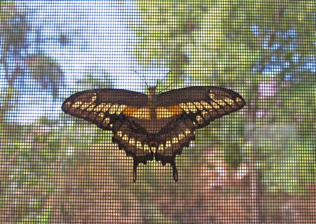 Giant Swallowtail butterfly against window screen.