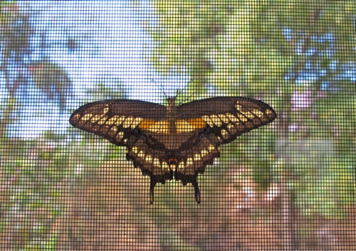 Giant Swallowtail butterfly against window screen.