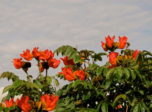 African Tulip tree reddish orange blossoms