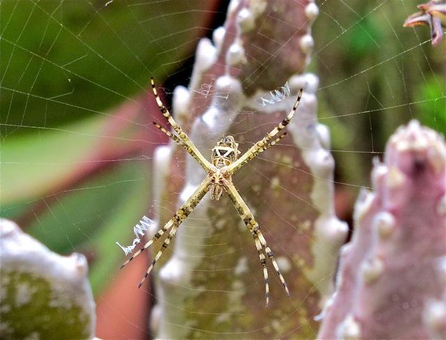 Orb weaver spider on web in Stalpelia gigantea.