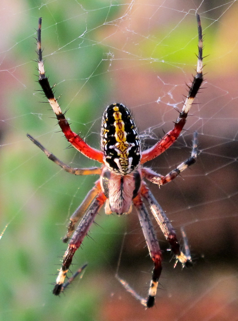 Apparently, last night Ms Oaxaca must have stayed up pretty late. This ... Green Garden Spider