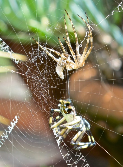 Female argiope and shell of male hanging above her.