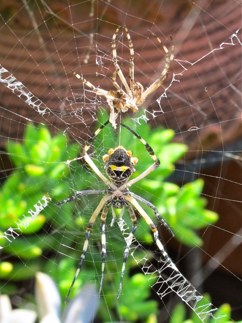 Shell of male Argiope suspended above the female in web.