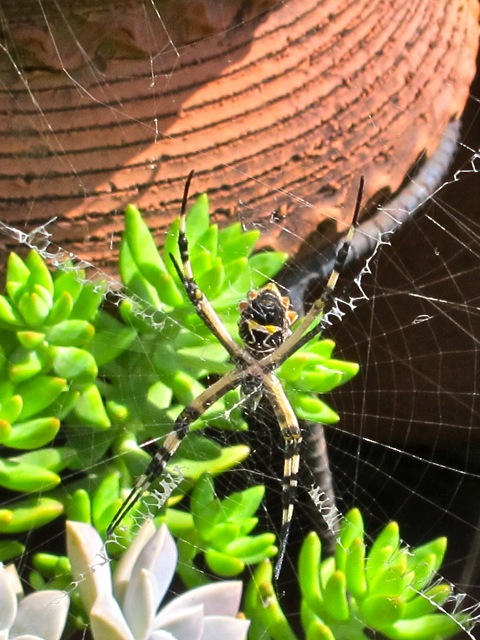 Female Argiope hanging in web alone.