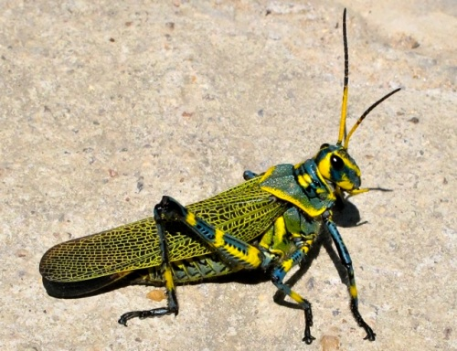 Green grasshopper with yellow and black markings on sidewalk.