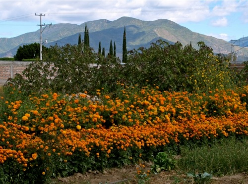 Field of marigolds with mountains in background