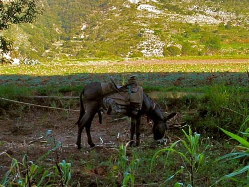 Donkey in corn field