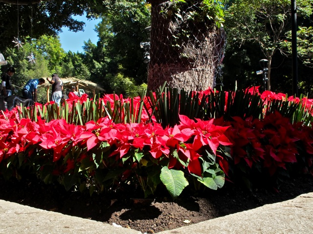 Flower bed of poinsettias under Indian laurel tree.