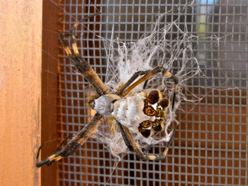 Argiope laying eggs on screen door