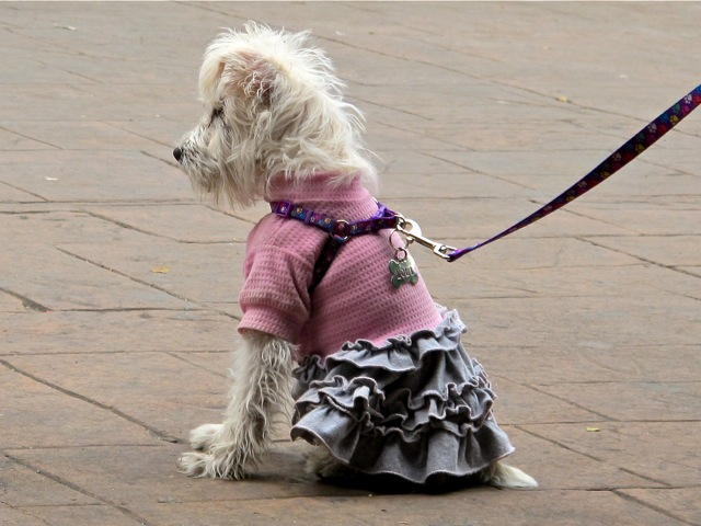 Small dog on leash, sitting, wearing pink sweater and gray ruffled skirt.