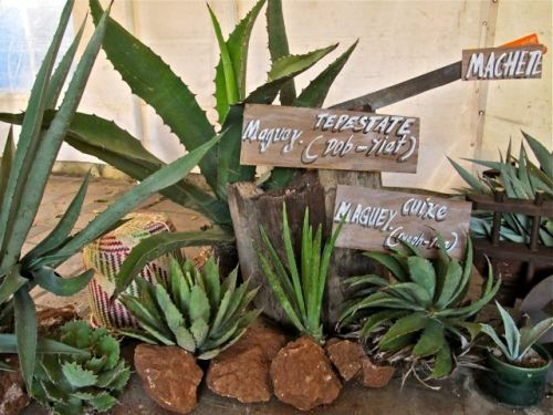 Variety of agave plants with labels.