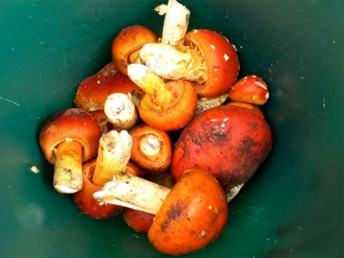 Orange capped mushrooms in a green container