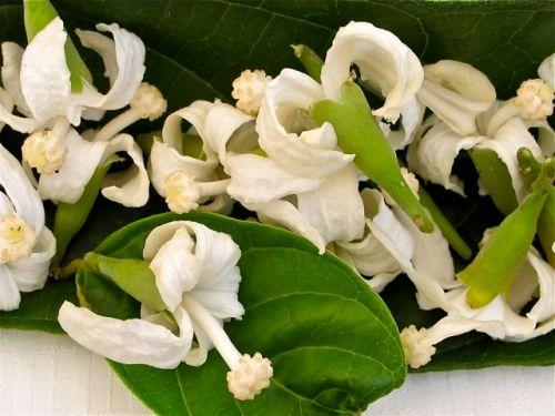 Rosita de Cacao blossoms.