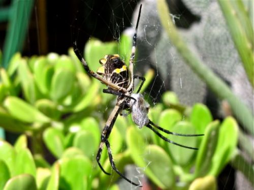 Close-up of Argiope wrapping up fly