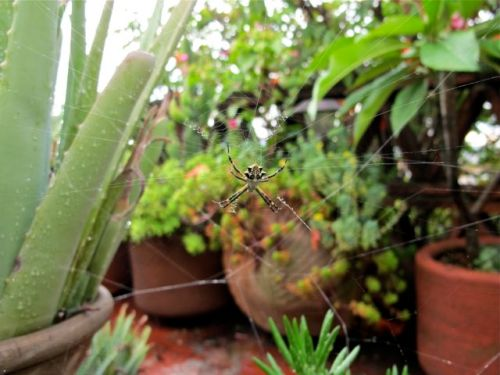 Argiope spider in the center of her web