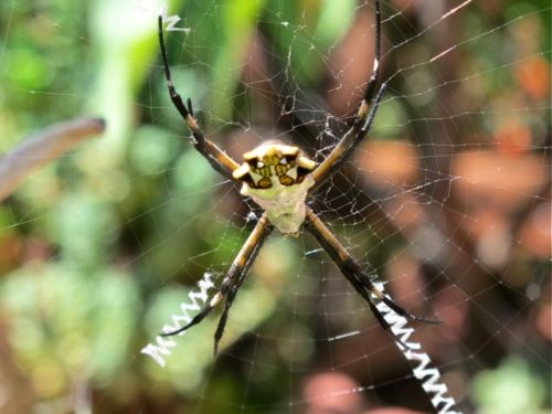 Close-up of back of Argiope