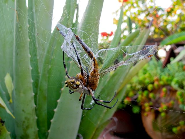Argiope spider with dragonfly caught in her web.
