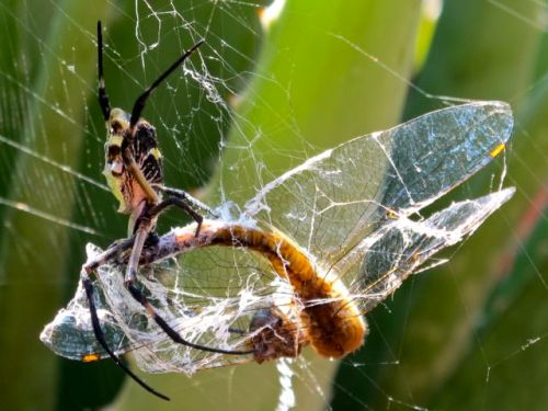 Close-up of dragonfly caught in an Argiope orb weaver spider web.