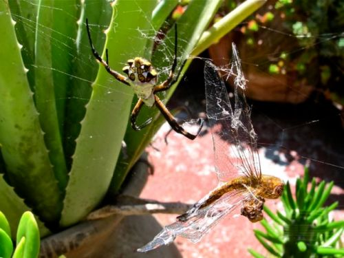 Dragonfly hanging by a thread on the web as Argiope spider has moved away from her prey