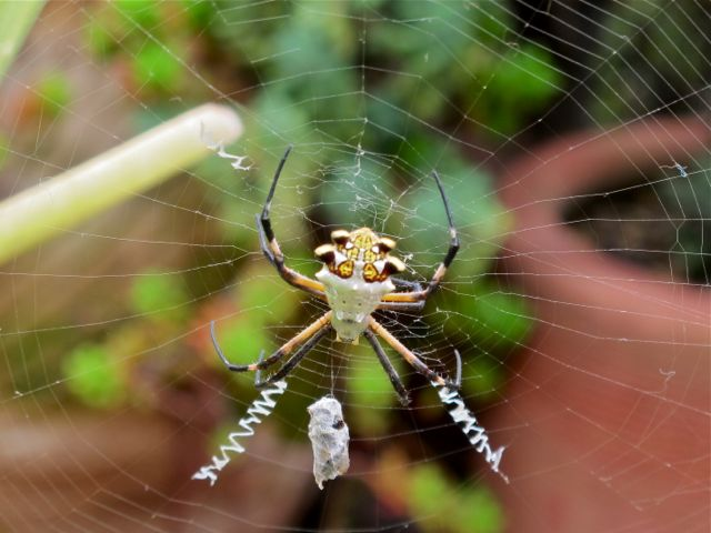 Argiope spider sitting in middle of web with a wrapped up fly.