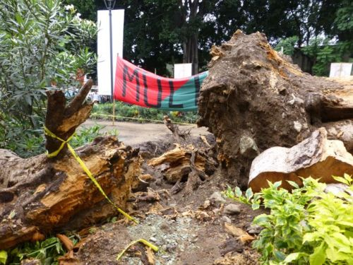 Large trunk of tree uprooted from ground.