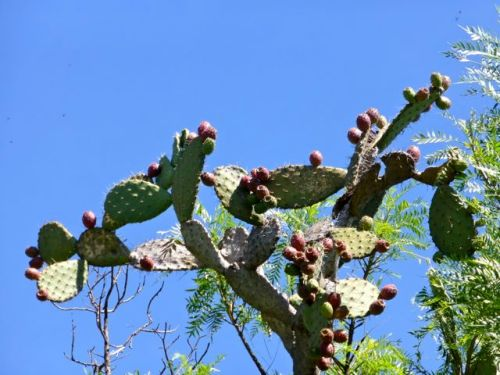 "Nopal cactus loaded with red fruit ""tunas"""