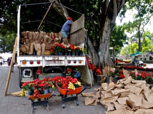 Truck filled with poinsettias