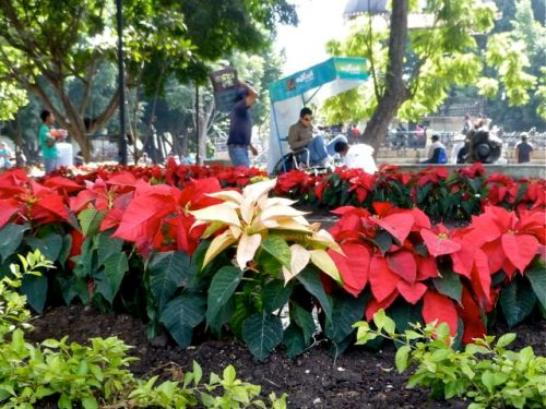 Mass of red and one white poinsettias in flower bed.