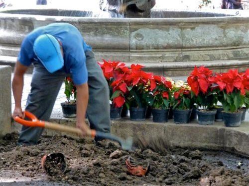 Worker digging up flower bed, with poinsettias in pots in background