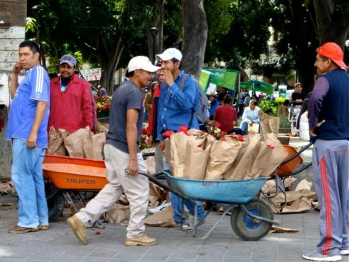 Workers with wheelbarrows filled with poinsettias