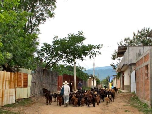 Goats being herded down dirt road