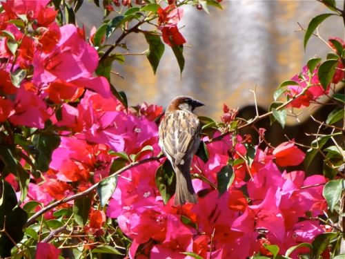 Sparrow sitting on bougainvilla branch