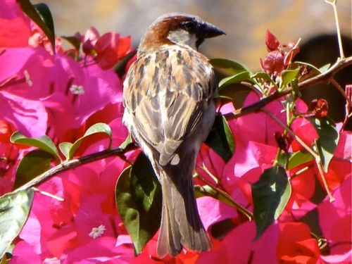 Close-up of sparrow sitting in bougainvilla