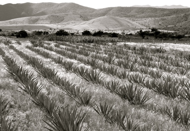 Maguey fields in Teotitlán del Valle.