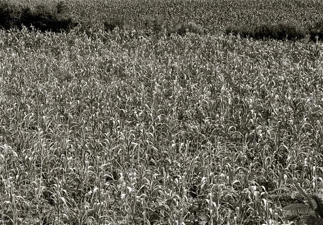 Rows of corn stalks.