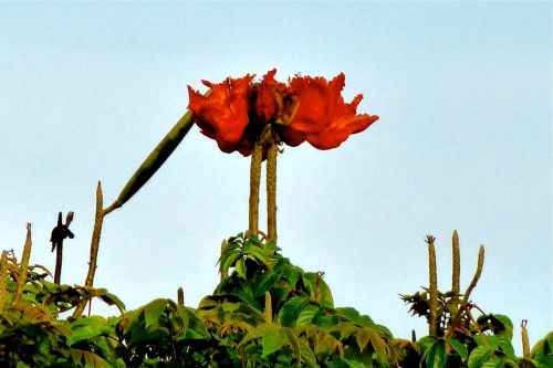 Red African tulip tree blossom against clear sky.