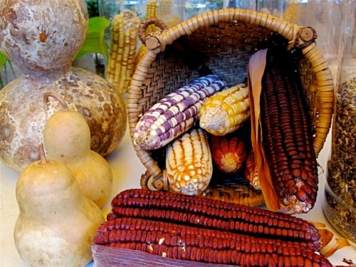 Multicolored corn in basket