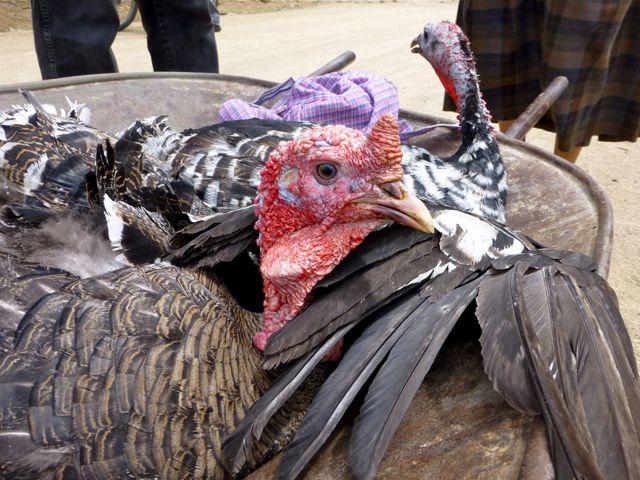 2 turkeys