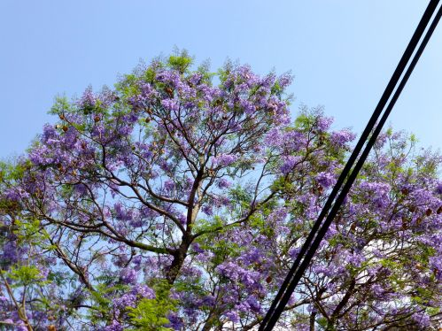 Lavender blossoms on jacaranda against blue sky