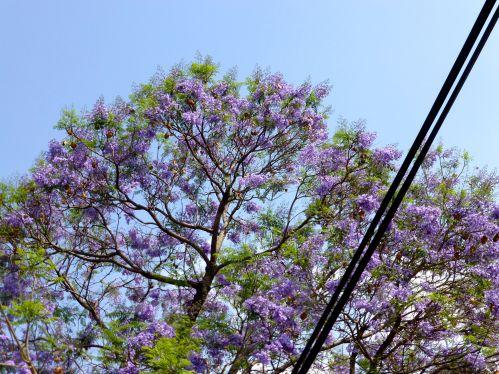 Lavender blossoms on jacaranda against blue sky
