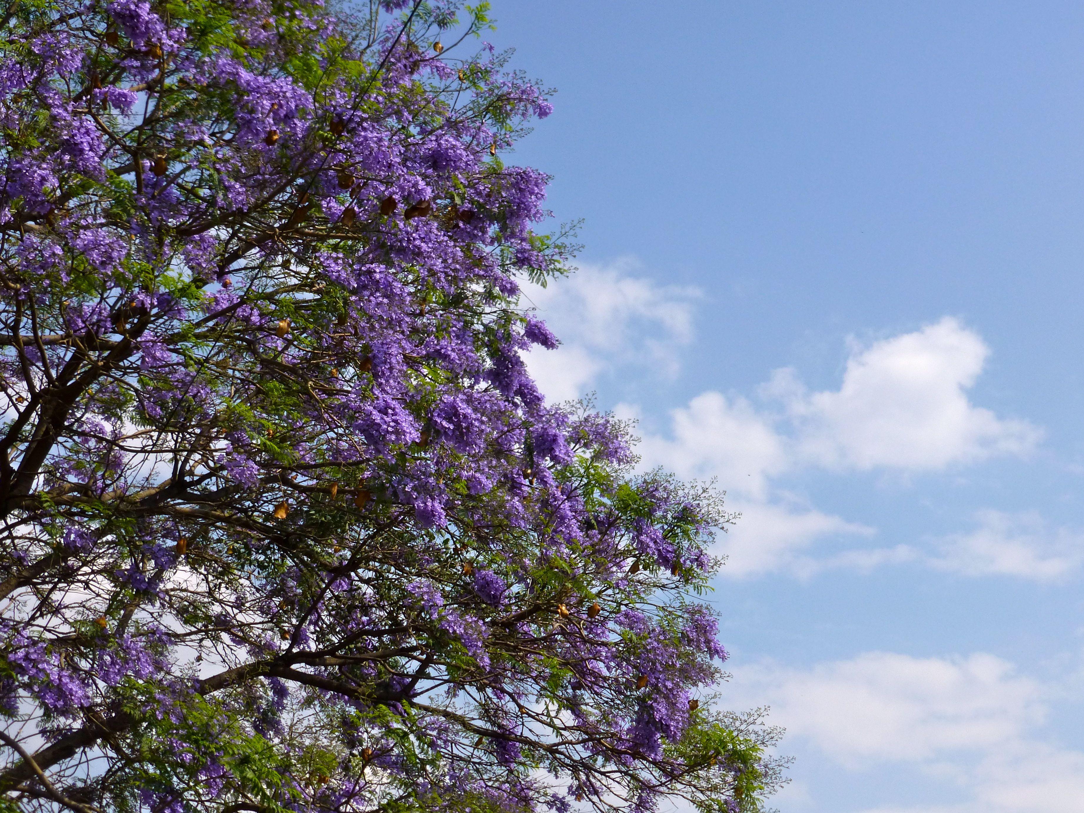 Lavender jacaranda blossoms against blue ski