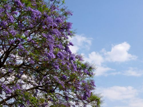 Lavender jacaranda blossoms against blue ski