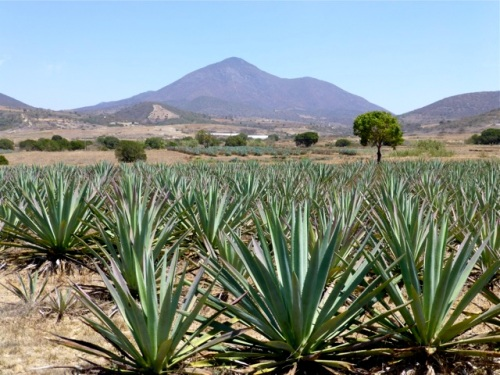 Agave fields with mountain in distance