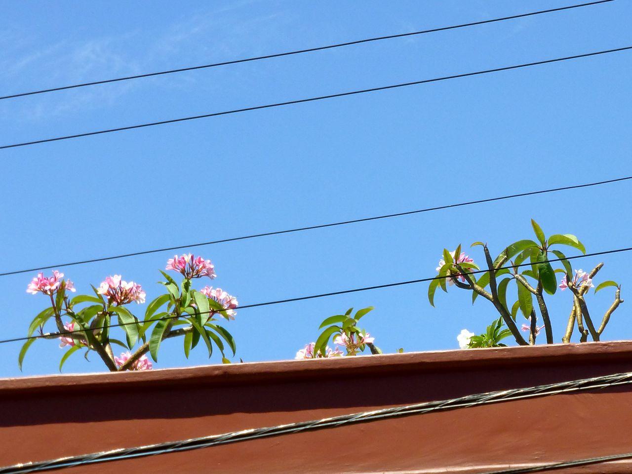Flor de mayo; May Flower
