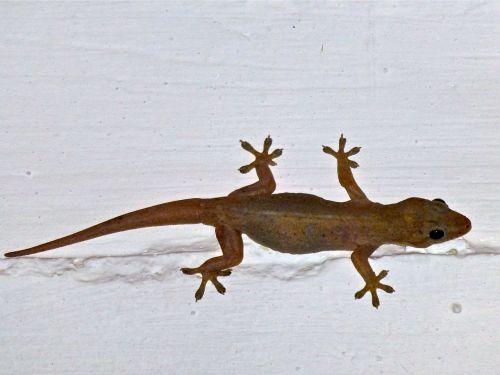 Gecko on white beam